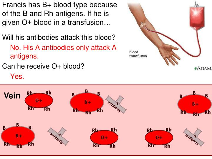 Francis has B+ blood type because of the B and Rh antigens. If he is given O+ blood in a transfusion…