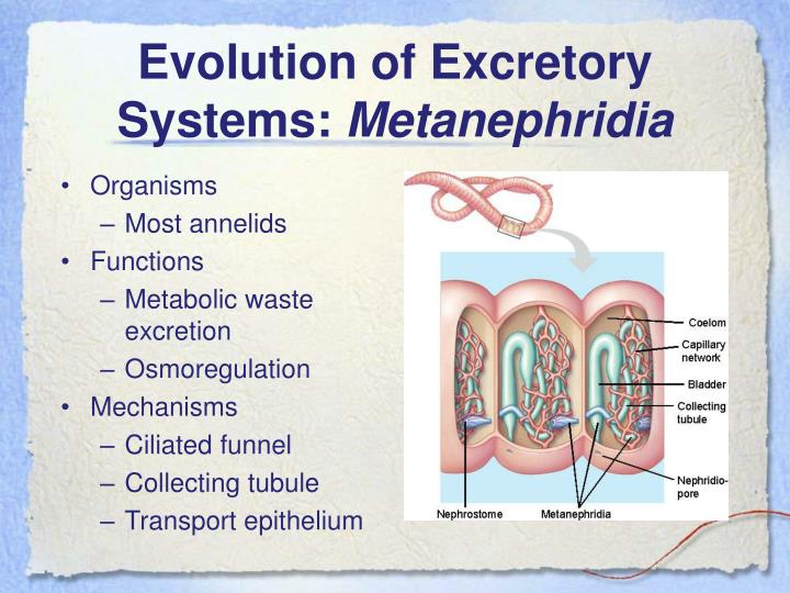 Evolution of Excretory Systems: