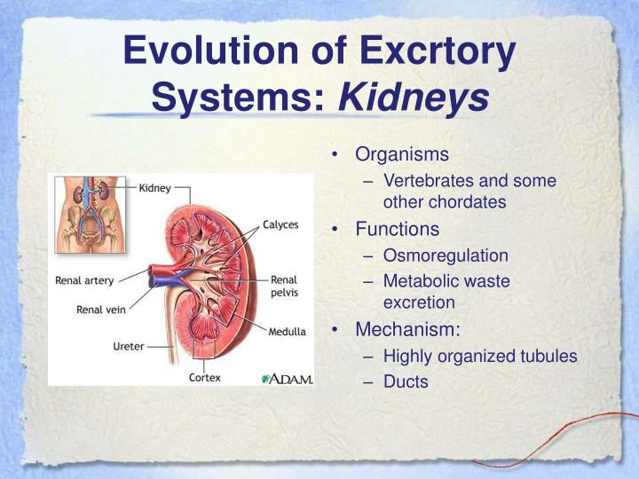 Evolution of Excrtory Systems: