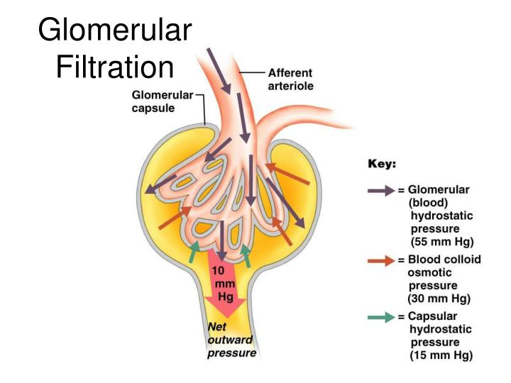 Glomerular