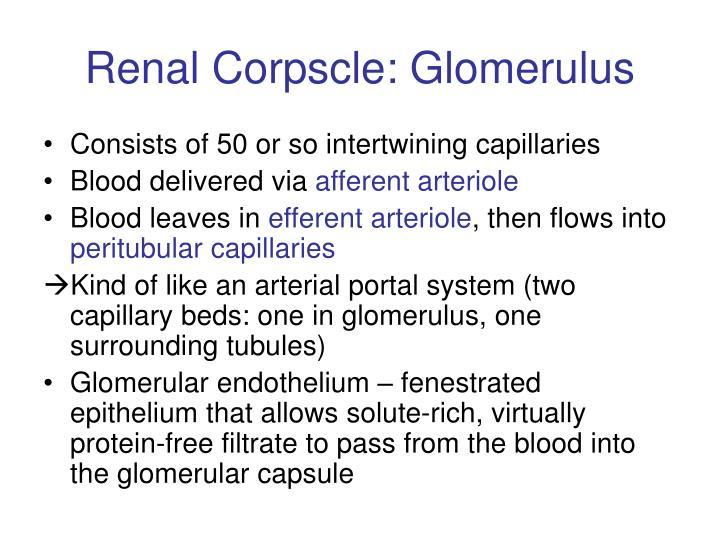 Renal Corpscle: Glomerulus
