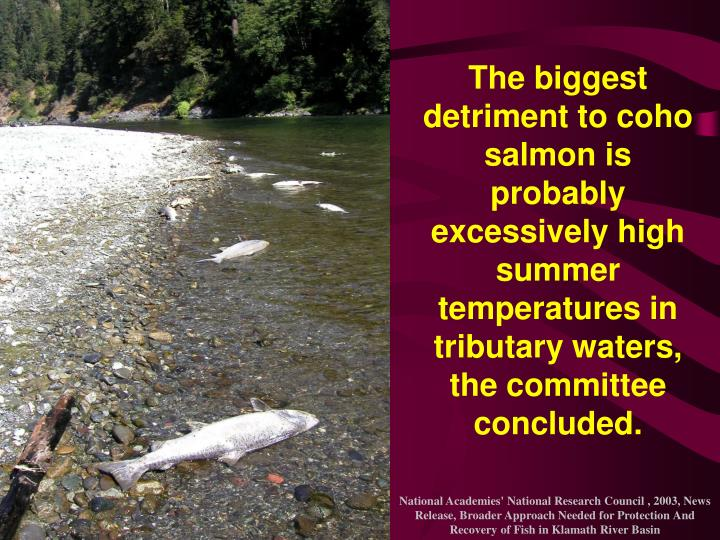 The biggest detriment to coho salmon is probably excessively high summer temperatures in tributary waters, the committee concluded.