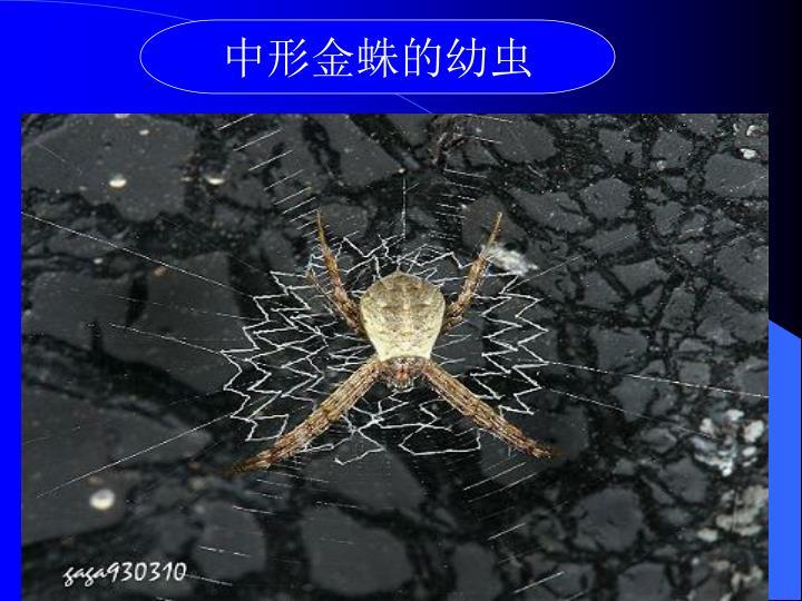中形金蛛的幼虫