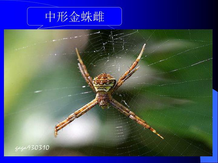 中形金蛛雌