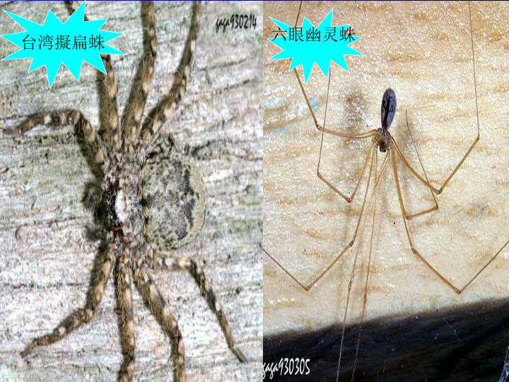 台湾擬扁蛛