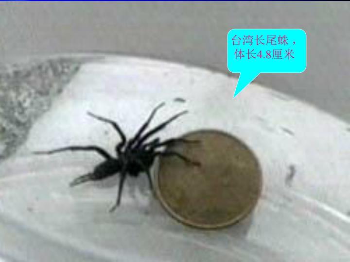 台湾长尾蛛 ,体长