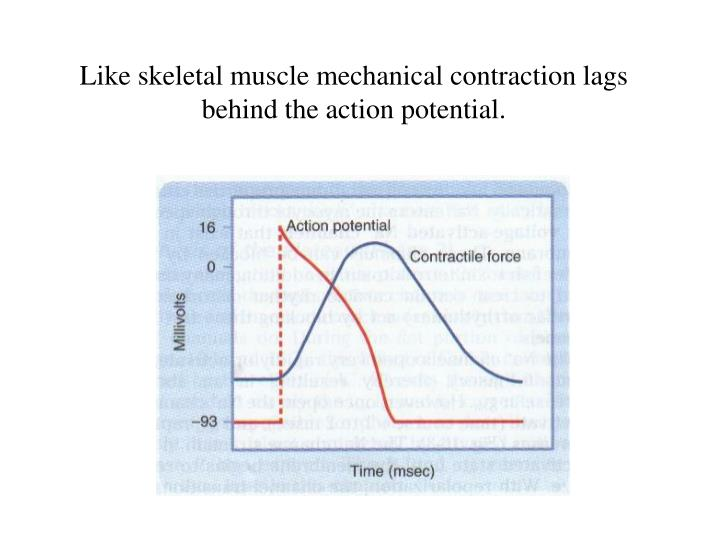 Like skeletal muscle mechanical contraction lags behind the action potential.