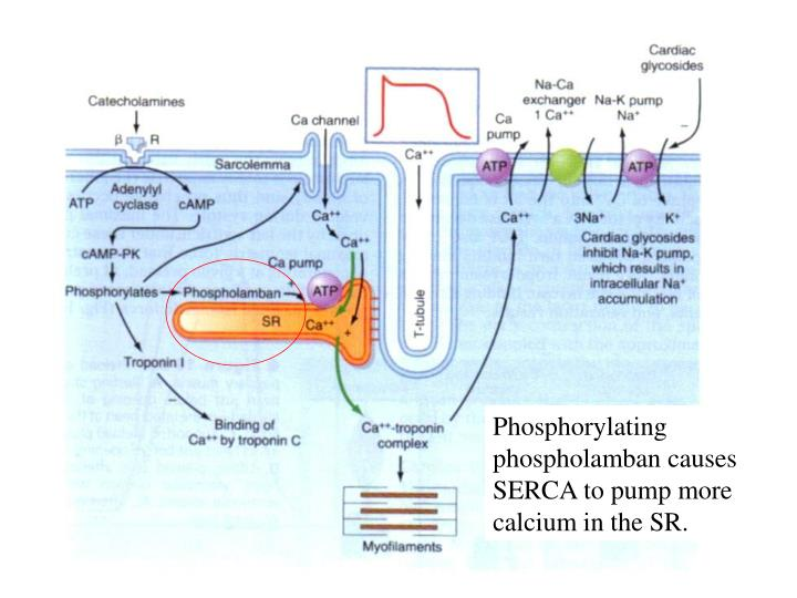 Phosphorylating phospholamban causes SERCA to pump more calcium in the SR.