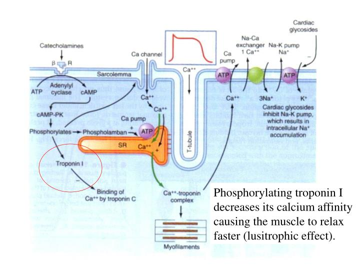 Phosphorylating troponin I decreases its calcium affinity causing the muscle to relax faster (lusitrophic effect).