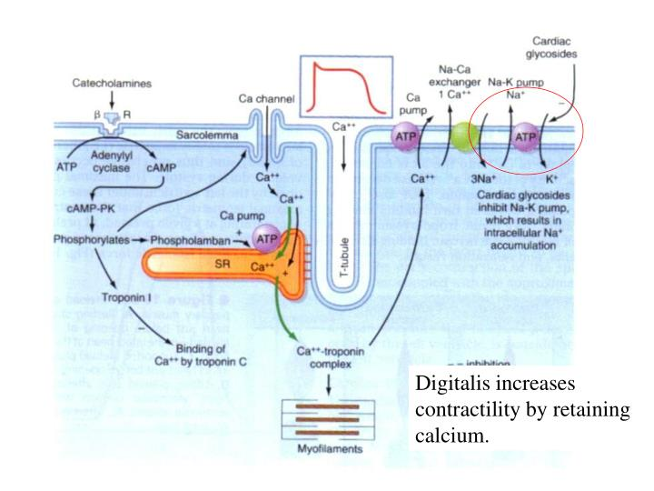 Digitalis increases contractility by retaining calcium.