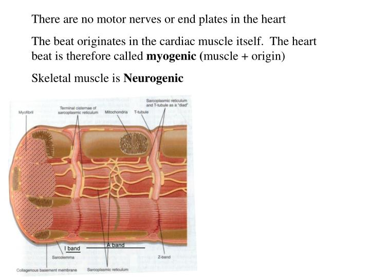 There are no motor nerves or end plates in the heart