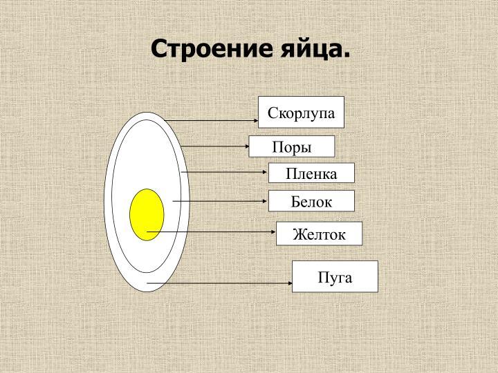 Строение яйца.