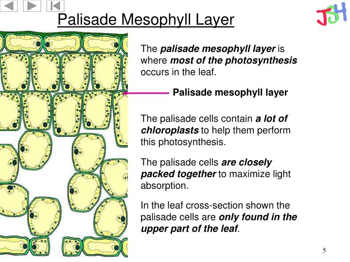 Palisade Mesophyll Layer