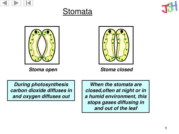 Stomata