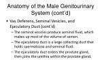 anatomy of the male genitourinary system cont d4