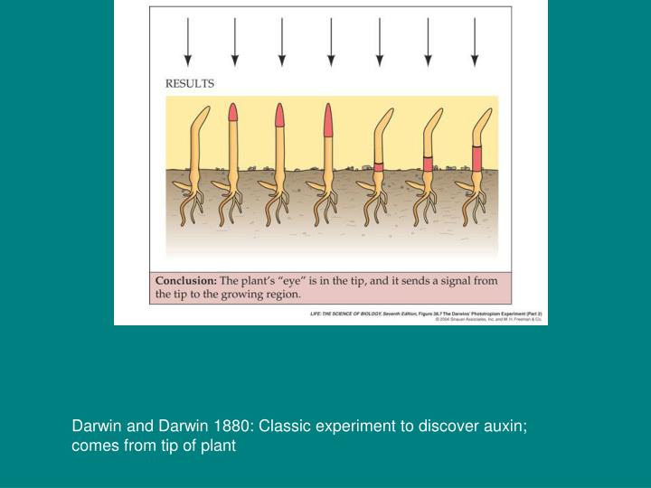 Darwin and Darwin 1880: Classic experiment to discover auxin;  comes from tip of plant