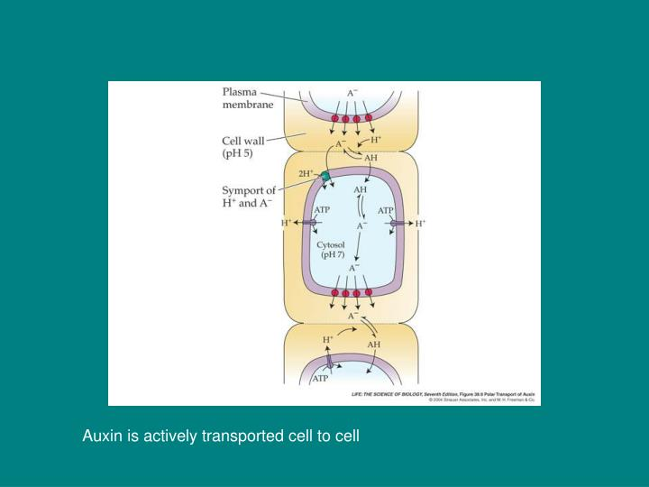 Auxin is actively transported cell to cell