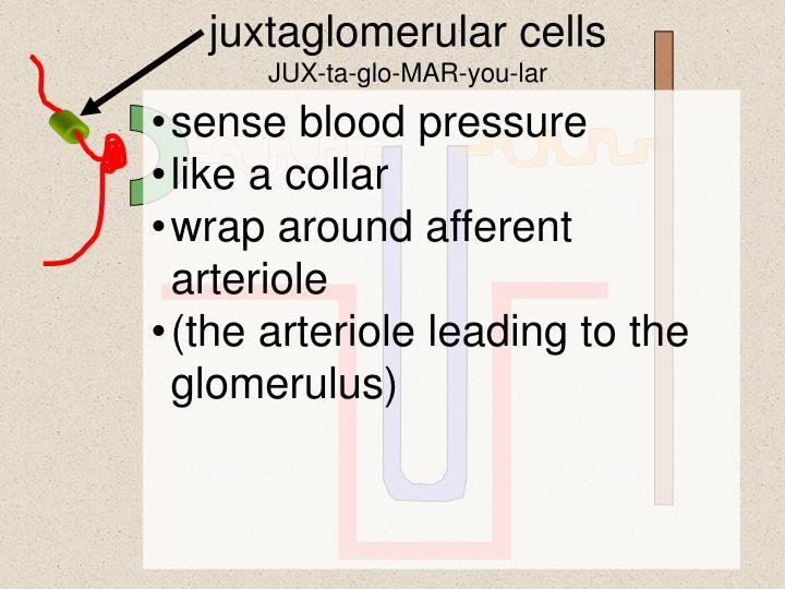 Juxtaglomerular cells