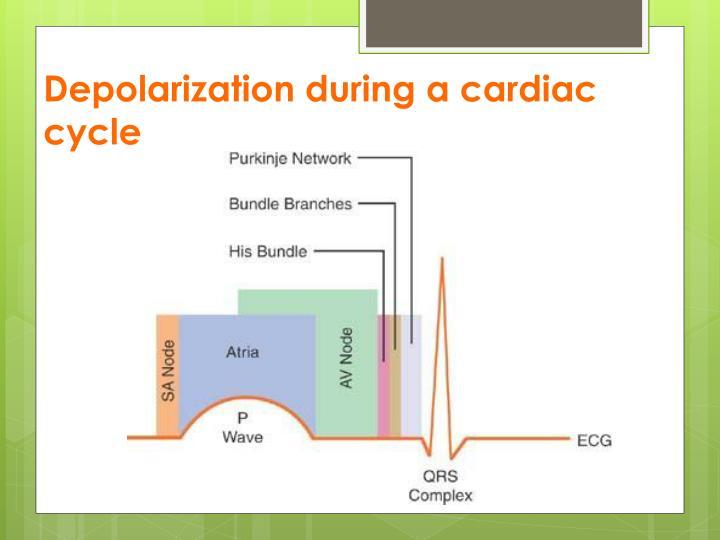 Depolarization during a cardiac cycle