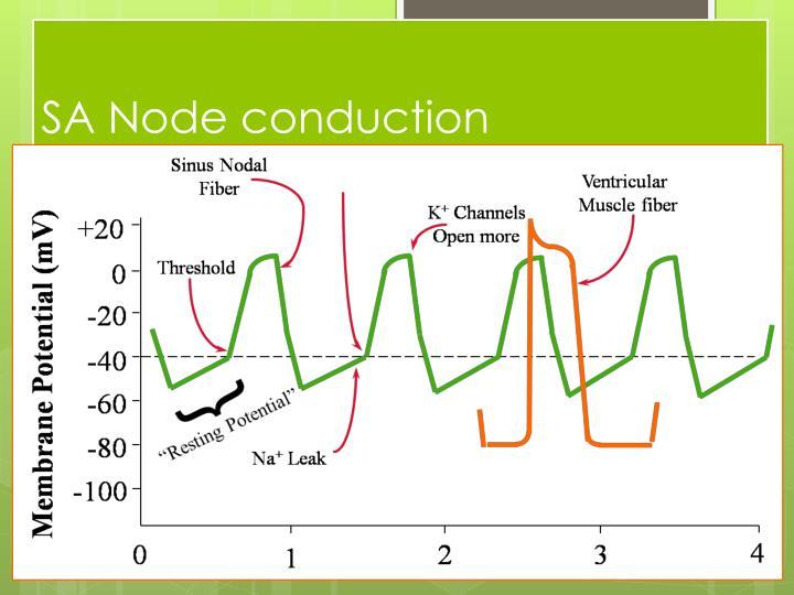 SA Node conduction