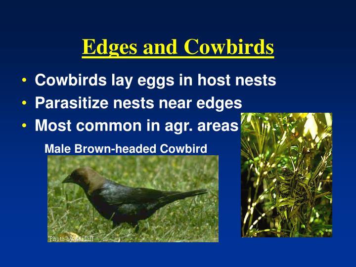 Edges and Cowbirds