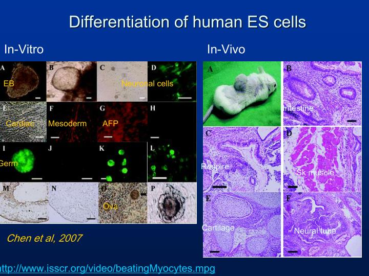 Differentiation of human ES cells