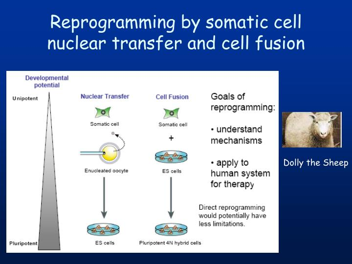 Reprogramming by somatic cell nuclear transfer and cell fusion