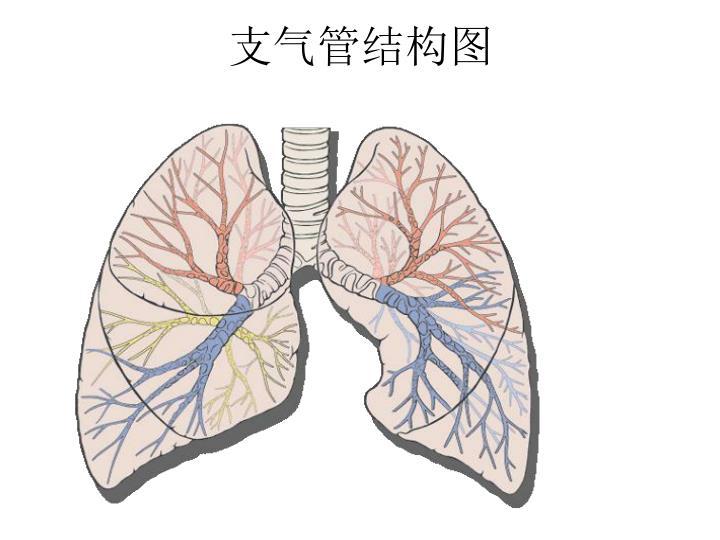 支气管结构图