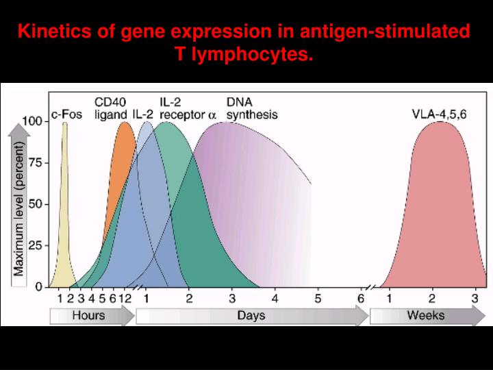 Kinetics of gene expression in antigen-stimulated