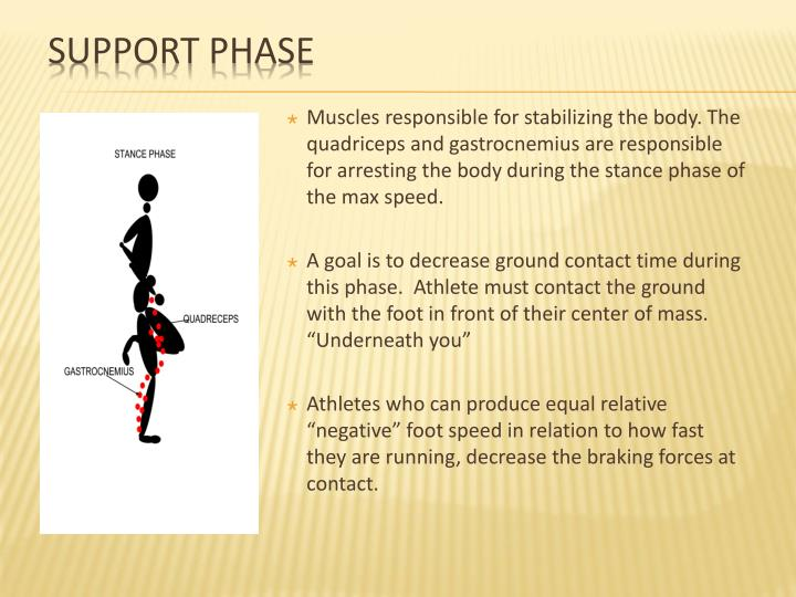 Muscles responsible for stabilizing the body. The quadriceps and