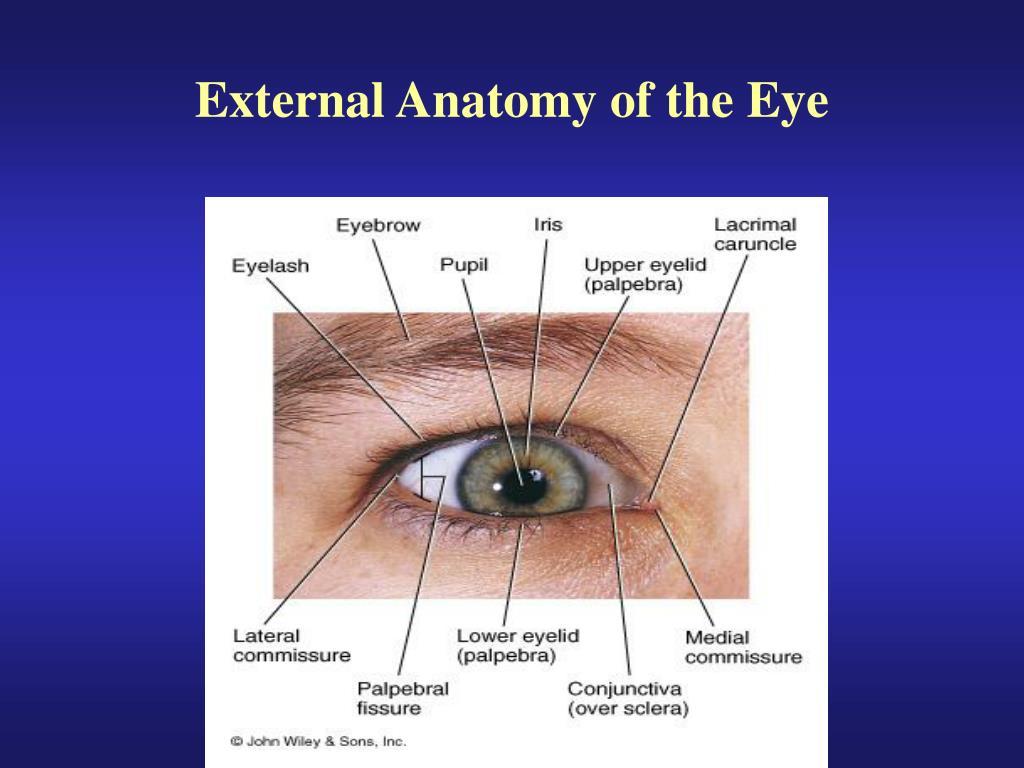 Ppt External Anatomy Of The Eye Powerpoint Presentation Id6762757