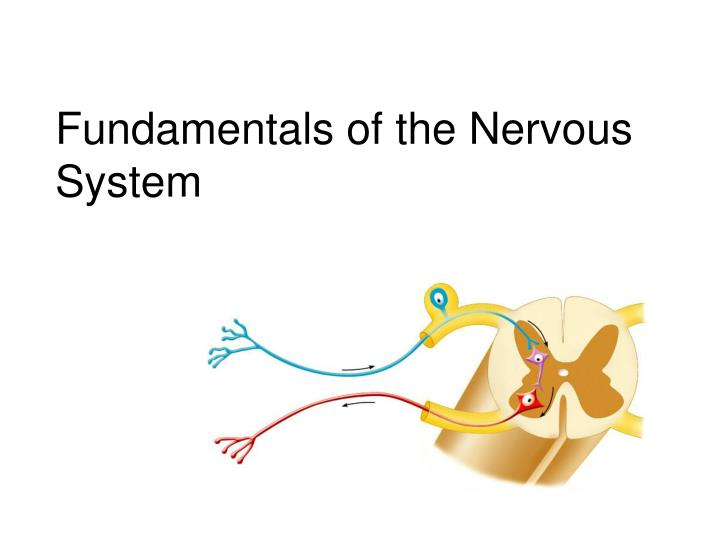 fundamentals of the nervous system n.