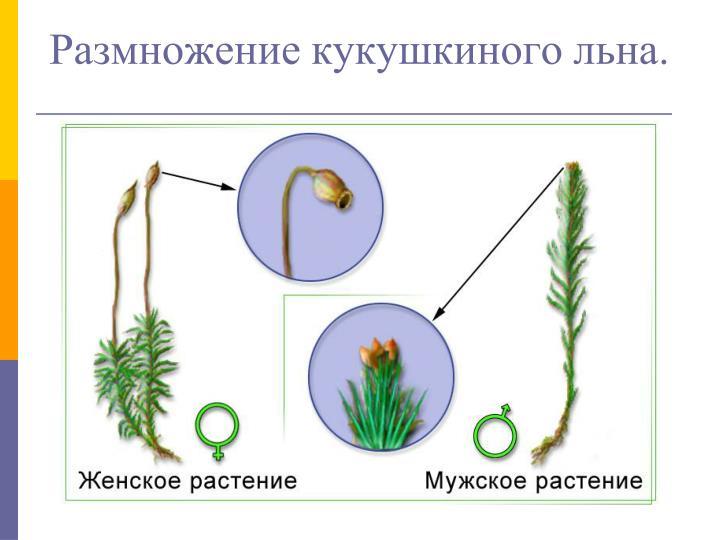 Размножение кукушкиного льна.