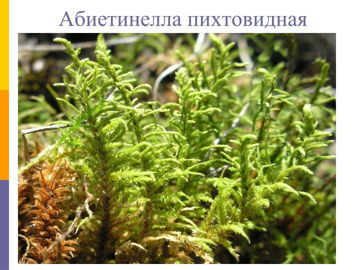 Абиетинелла пихтовидная