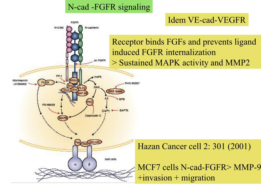PPT - Integrins and other Adhesion receptors in Invasion and