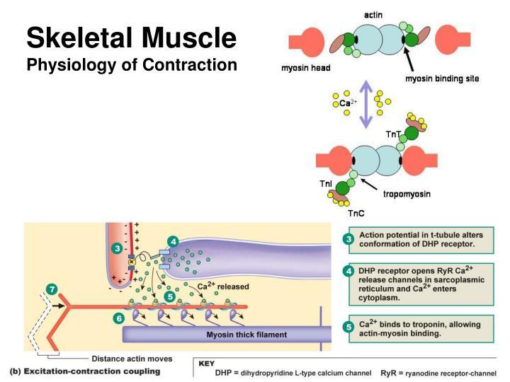 skeletal muscle physiology essay View notes - human physiology- frog skeletal muscle lab report from bio 100 at university of phoenix lab1sciaticnerveandcompoundactionpotentials rana pipiens leopard frog, sciatic nerve.