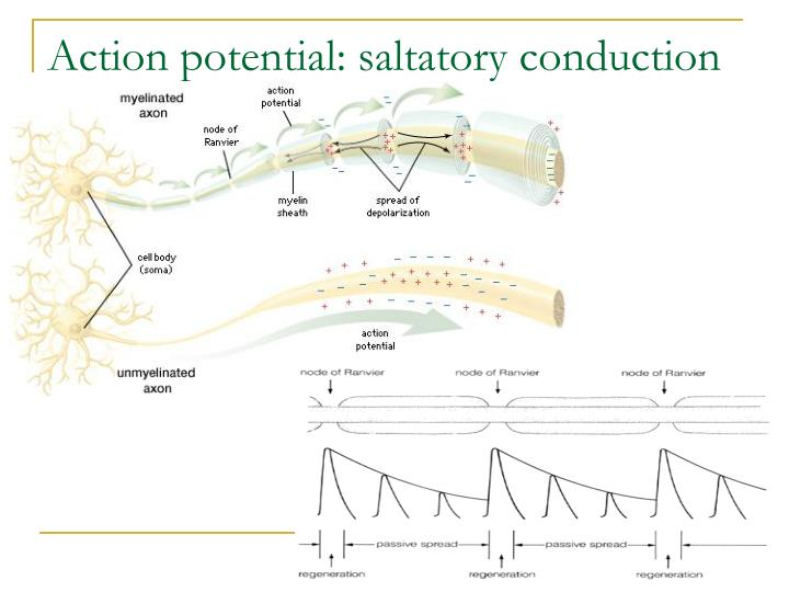 Action potential: saltatory conduction