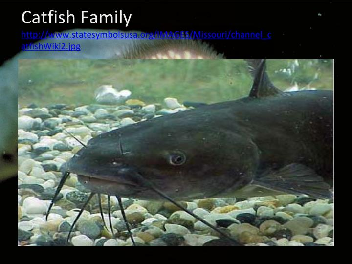 Catfish Family