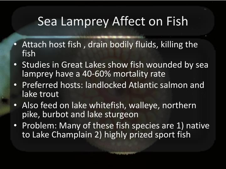 Sea Lamprey Affect on Fish