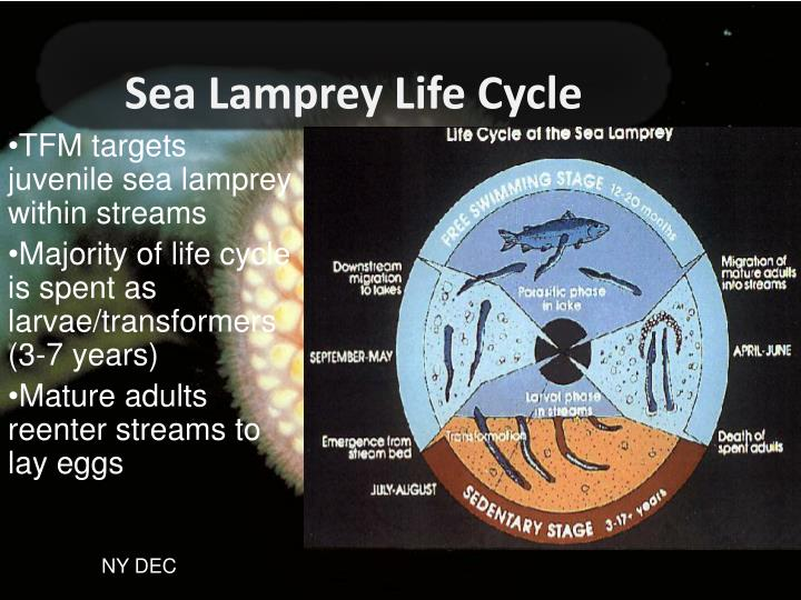 Sea Lamprey Life Cycle