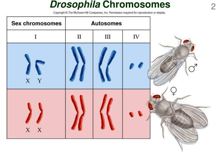 Drosophila chromosomes