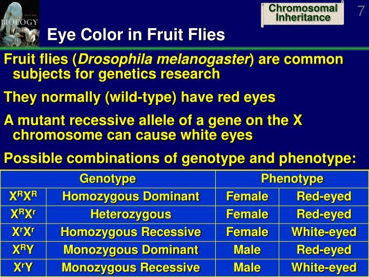 Eye Color in Fruit Flies