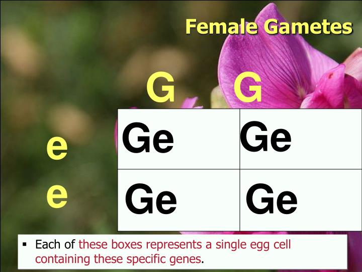 Female Gametes