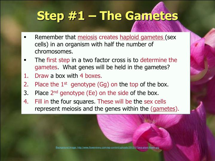 Step #1 – The Gametes