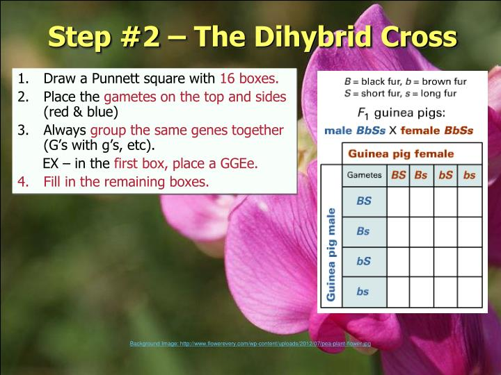 Step #2 – The Dihybrid Cross