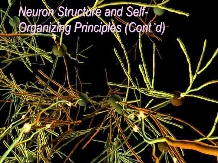 Neuron Structure and Self-Organizing Principles (Cont
