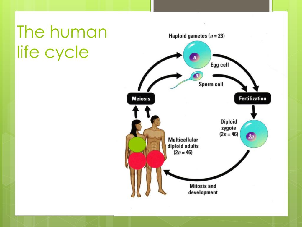 PPT - Chapter 11.4 Meiosis PowerPoint Presentation, free ...