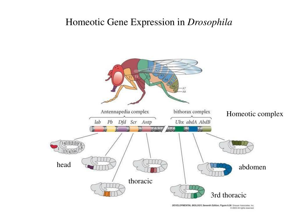 Chromosomal sex determination in drosophila