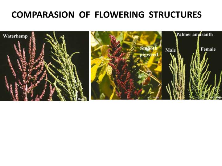 COMPARASION  OF  FLOWERING  STRUCTURES