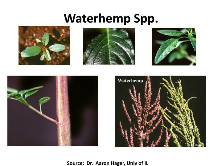 Waterhemp Spp.